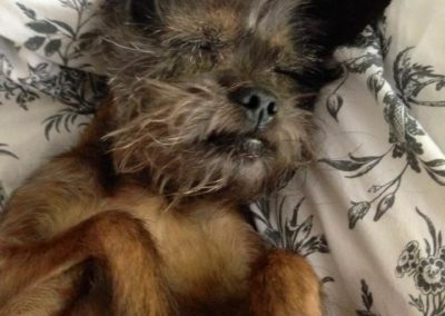 Chloe the ewok-looking dog asleep on a blanket