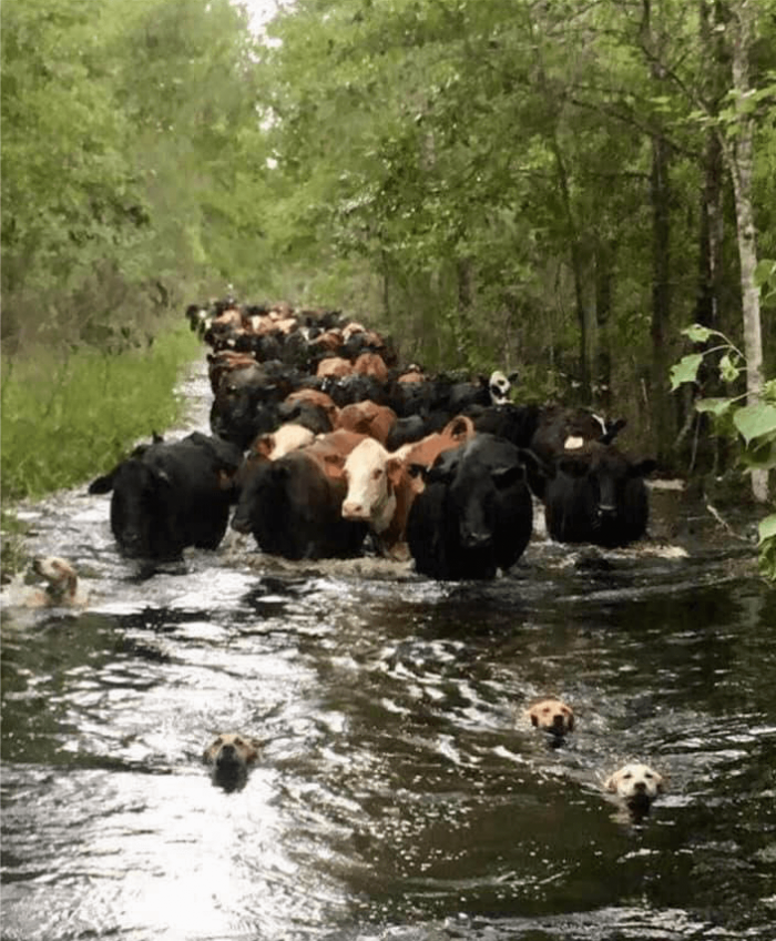 Leadership - A herd of cows wading through a river behind a few dogs